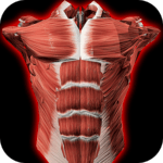 Muscular System 3D (anatomy) icon