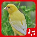 Canary Sounds, Chants and tones free icon