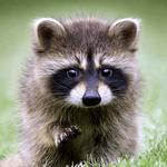 Talking Raccoon icon