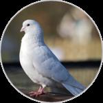 Dove sounds icon