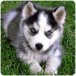 Husky puppies Wallpapers icon