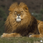 Lion Jigsaw Puzzles icon