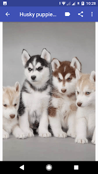 Husky puppies Wallpapers pc screenshot 1